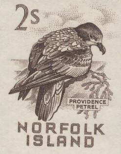 Norfolk Island petrelx
